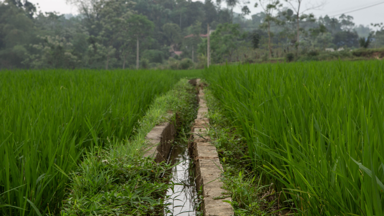 An irrigation channel runs through a rice paddy in the Yên Bái Province. Photo by Jacquelyn Turner/IRI.