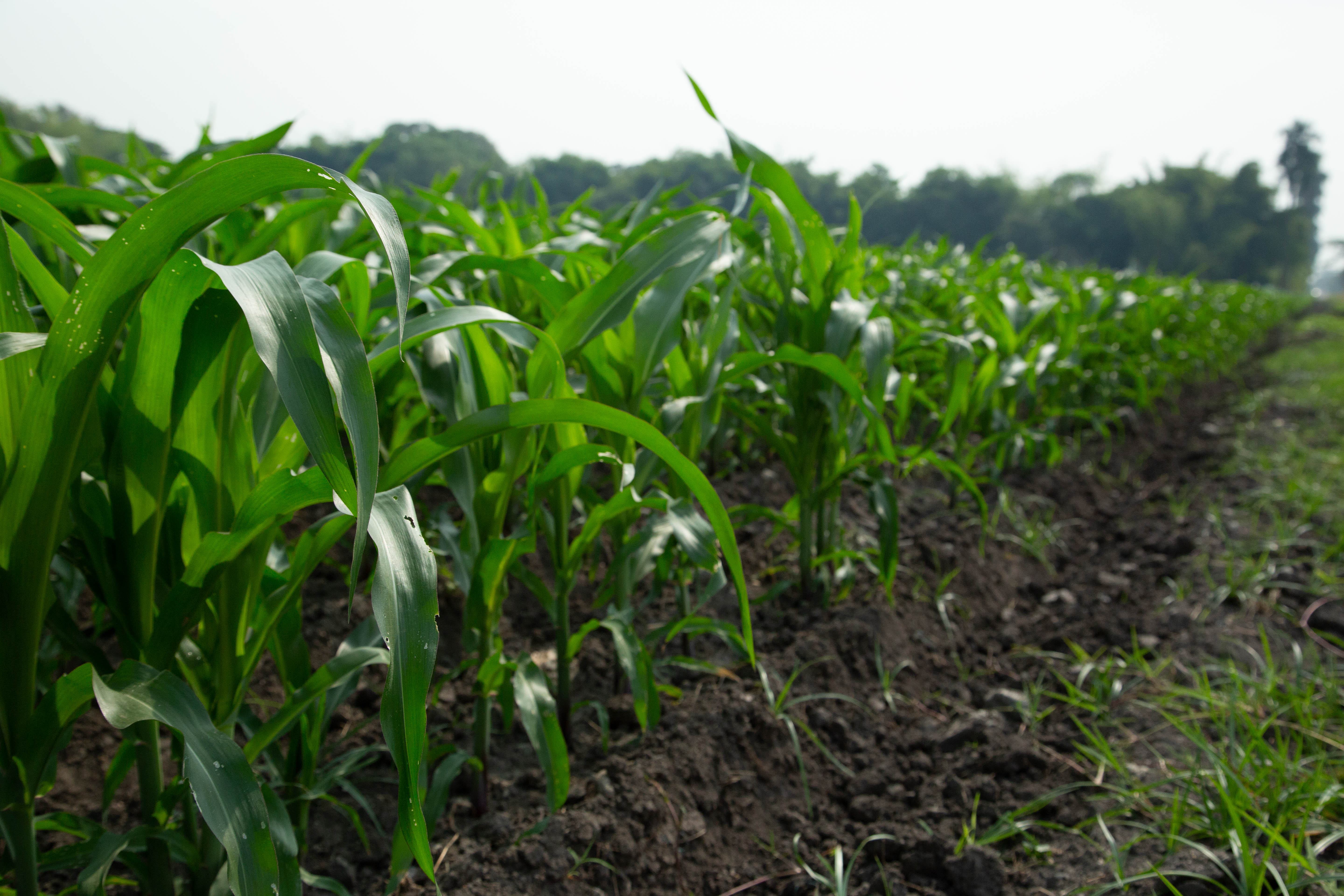 A row of young corn plants at the International Center for Tropical Agriculture (CIAT) in Cali, Colombia. Photographer Jacquelyn Turner, ACToday/IRI.