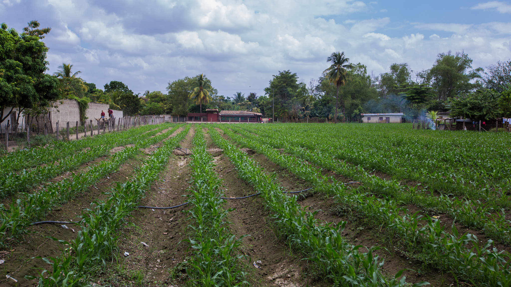 A field of rows of green foot-high corn stalks stretches in front of the camera, with deep furrows between the rows. The field is about an acre and beyond the fence are houses with terracotta and corrugated metal roofs. In the distance on the left are two figures on a cart pulled by a mule. Smoke rises from the yard of one of the houses and drifts across the field.