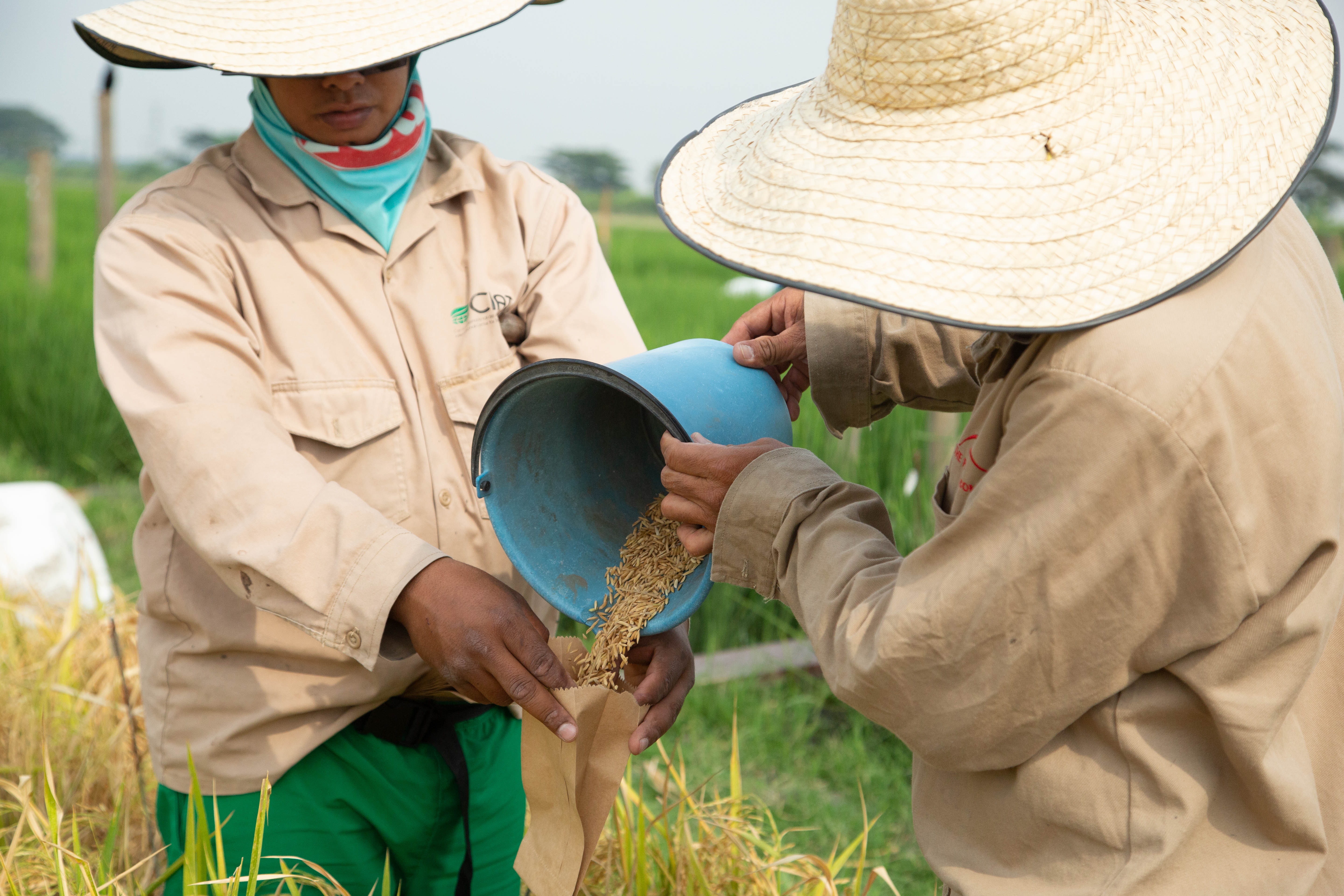Two field laborers wearing beige uniforms and large, broad-brimmed straw hats pour harvested rice grains from a blue plastic bucket into a specially labeled paper packet for seed collection and storage at CIAT in Cali, Colombia. Photographer Jacquelyn Turner, ACToday/IRI.